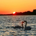Swans in front of setting sun