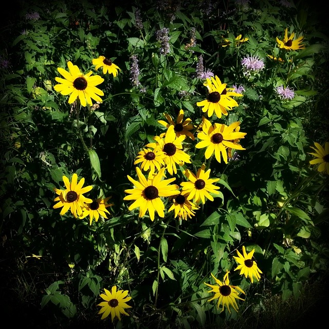 Black Eyed Susans remind us to soak up the late summer sun
