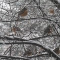 Robins in a spring snow storm