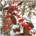 Snow on berries